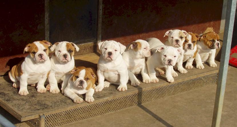Pickwick Bulldogs Continental Bulldog Zucht