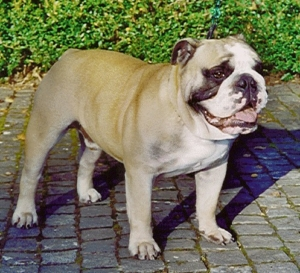 Meine Beweggrunde Pickwick Bulldogs